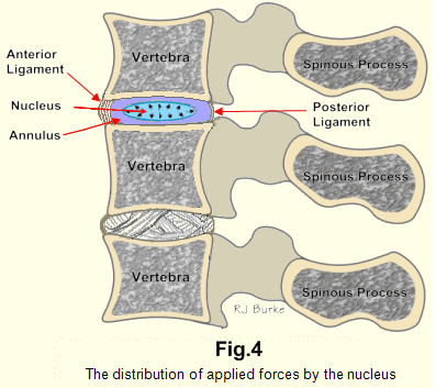 backache: chapter 2 - the intervertebral disc, Human Body